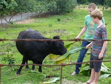Ezra and Jonah feeding Lenore\'s cows