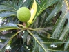 w-babybreadfruit