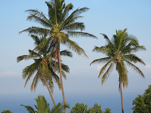 3-old-coconut-trees