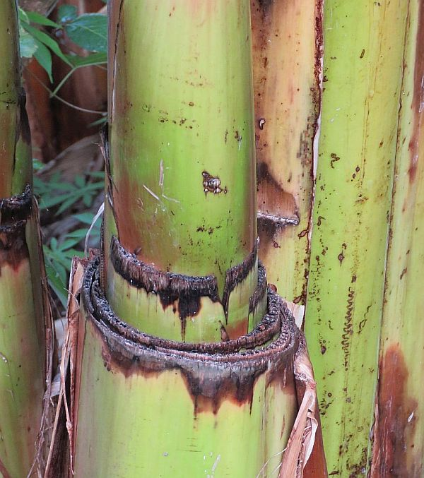 bananas-never-give-up-growing