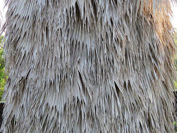 bottom-of-a-hula-skirt-palm-tree