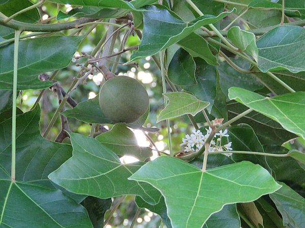 candlenut-kukui-and-flower