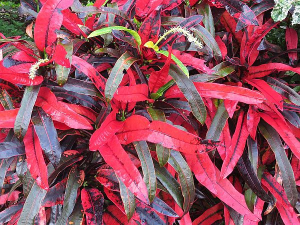 croton-unbelivably-red