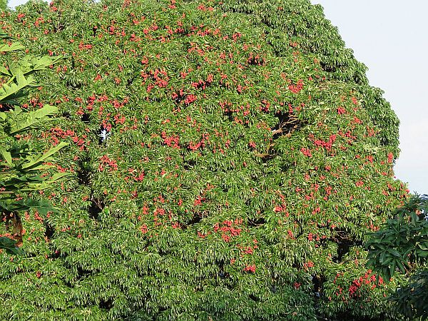 old-lychee-tree