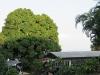 morning-sun-meeting-the-mango-tree