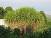 old-healthy-hala-tree