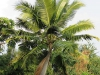 very-happy-coconut-tree