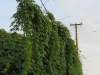 wood-rose-vine-overtakes-electric-line