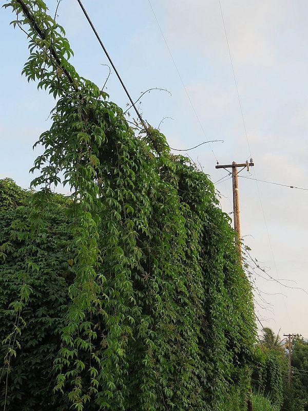 wood-rose-vine-overtakes-electric-line