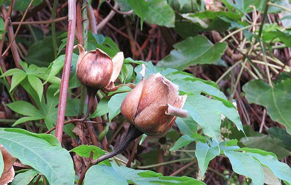 wood-rose