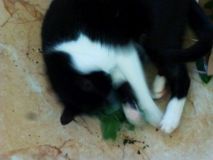 Sylvie-attacking catnip