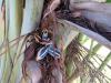 beautiful-blue-traveler-palm-seeds