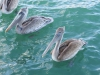 floating-pelicans-waiting-for-handouts-in-harbor