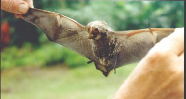 hawaiian_bat-honaunau