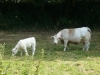Charolais Cow and her calf