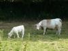 Charolais Cow and her calf