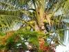 w-engels-coconutponciana