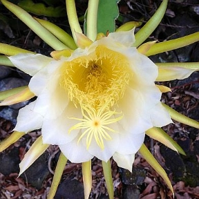 nightblooming-cereus-small_