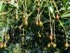 closeup-baby-avocados