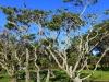 koa-trees