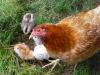 mama-hen
