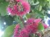 mountain-apple-flowers