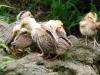 sleepy-chicks