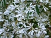 snow-bush