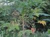 male-papaya